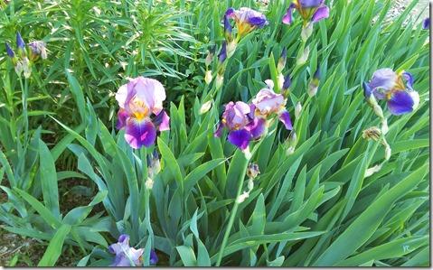 Iris-morn_LI